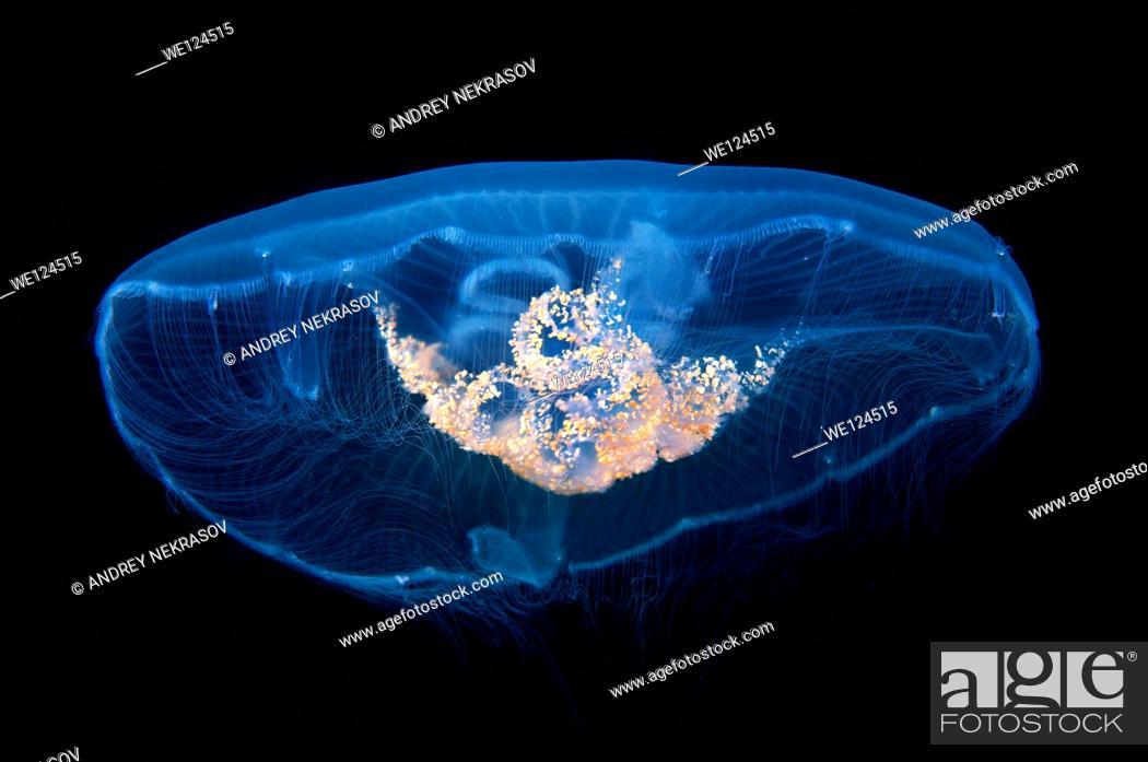 Stock Photo: Moon jelly, moon jellyfish, common jellyfish, or saucer jelly (Aurelia aurita). Black Sea, Crimea, Ukraine, Eastern Europe.