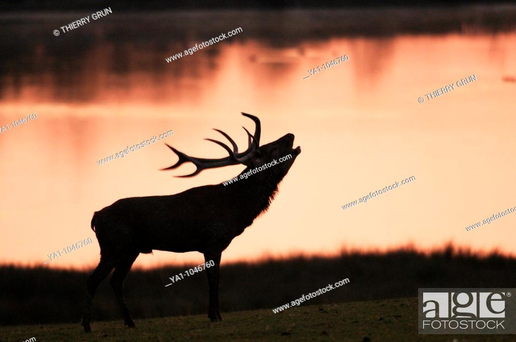 Stock Photo: Red deer male (Cervus elaphus) roaring in the morning light near a lake. Moselle, Lorraine, France.