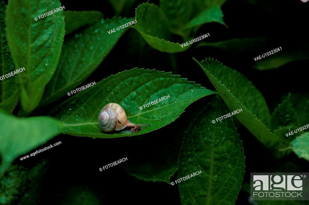 Stock Photo: Snail On Leaf.