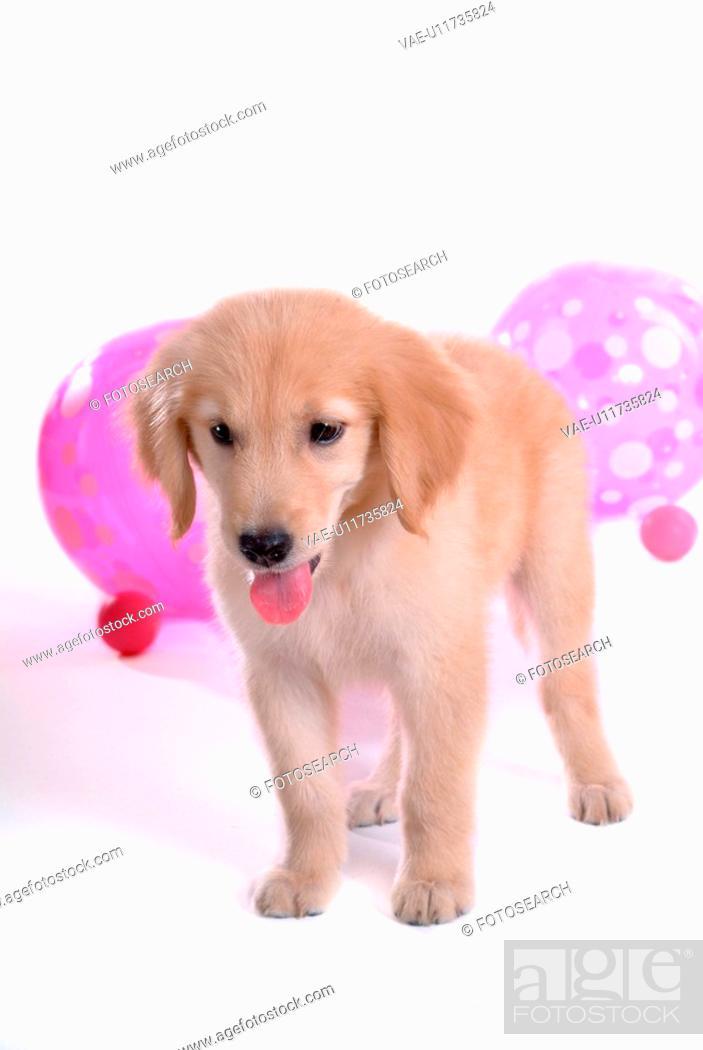 Stock Photo: looking down, golden retriever, domestic animal, balloon, retriever, close up, Golden Retriever.