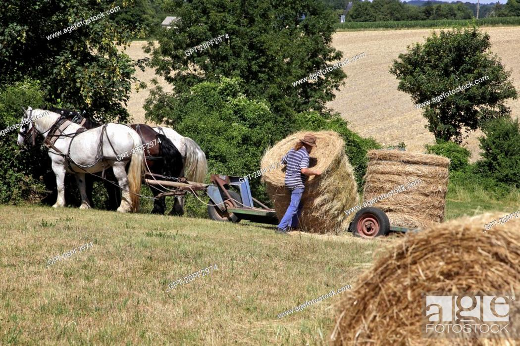 Stock Photo: COLLECTING HAY BALES, WORKING IN THE FIELDS WITH A HARNESSED TEAM OF PERCHERON HORSES, JEAN-LOUIS LEFRANCOIS' FARM, CONDEAU, PERCHE, ORNE 61, FRANCE.