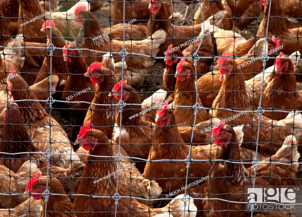 Fantastic Rhode Island Chickens Behind A Wire Fence Stock Photo Picture And Wiring Database Indigelartorg