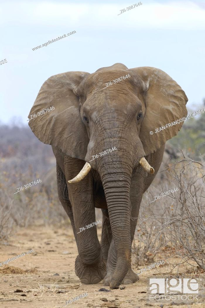 Stock Photo: African bush elephant (Loxodonta africana), adult elephant bull walking along a path, ears open, Kruger National Park, South Africa, Africa.