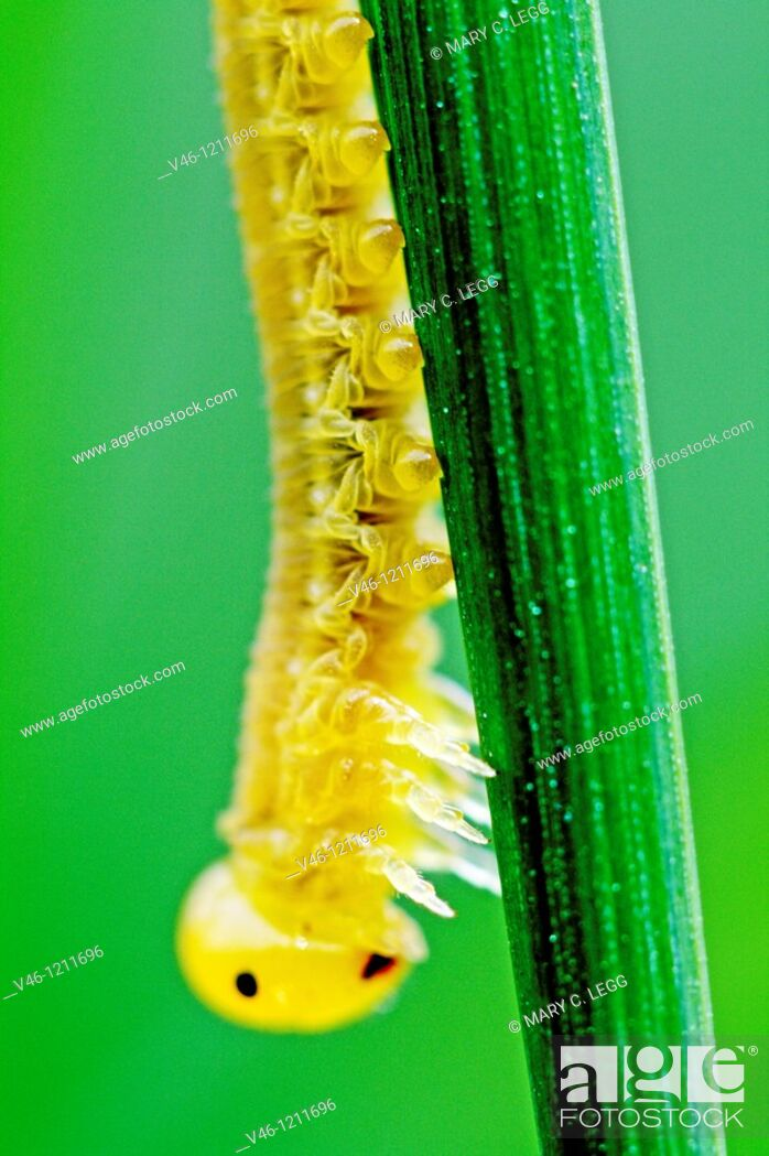 Stock Photo: caterpillar  Small caterpillar on a blade of grass  Translucent yellow about 1 5-2cm large  Very intricate muscle system of caterpiillar is visible  Naked.