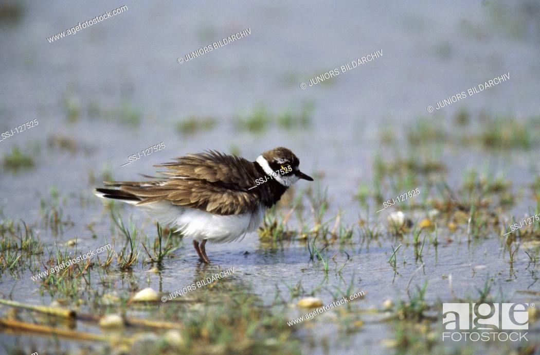Stock Photo: little ringed plover in water - shaking plumage.