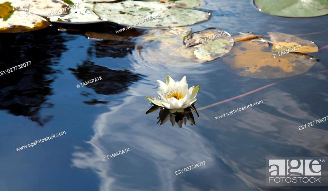 Stock Photo: Water lily Nymphaea tetragona on lake surface.