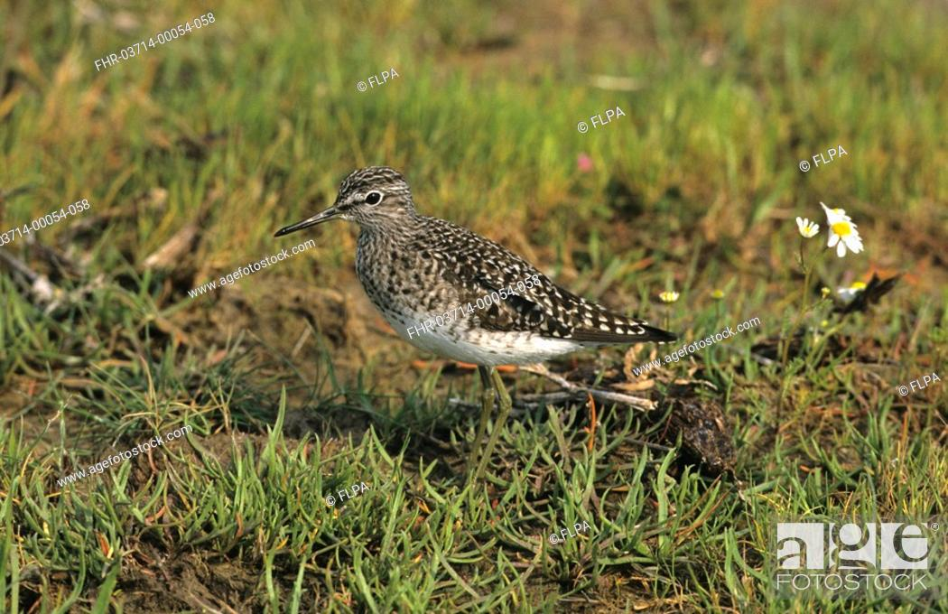 Stock Photo: Wood Sandpiper Tringa glareola Standing - close-up.