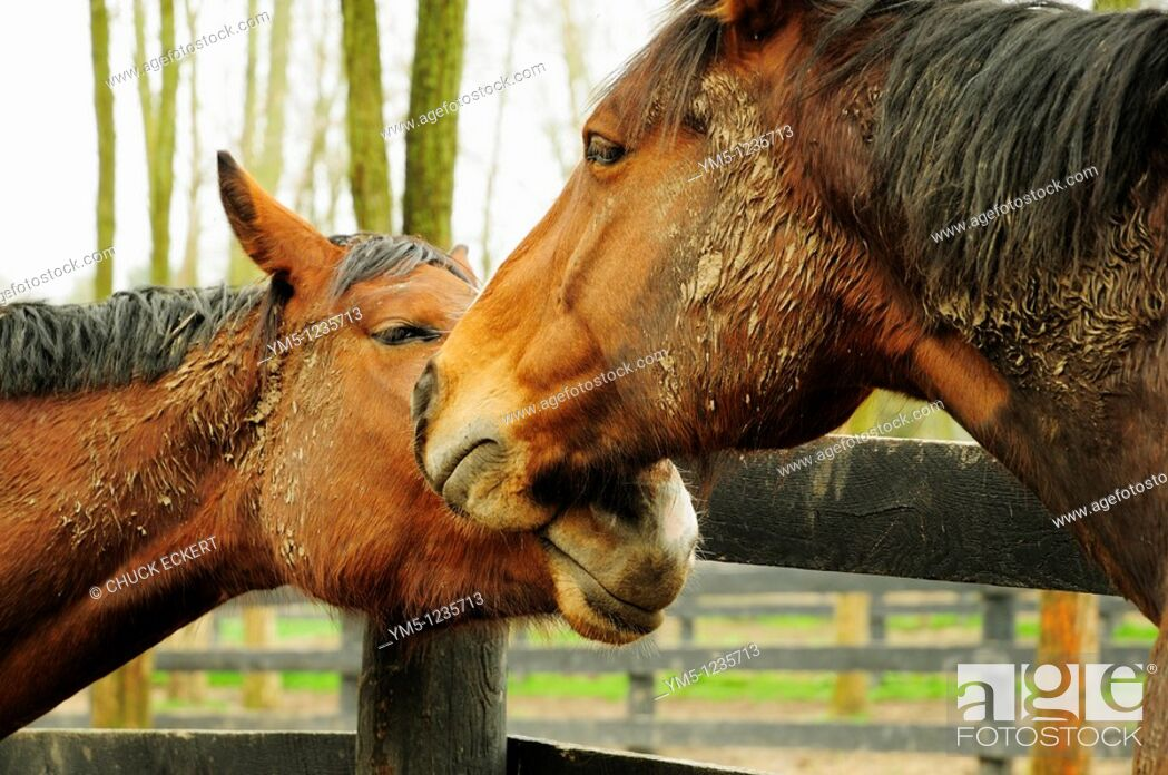 Stock Photo: Two horses showing affection.