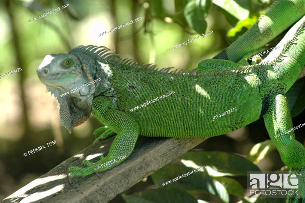 Stock Photo: Costa Rica, Caribbean coast, Bri Bri Indian reserve, green iguana.