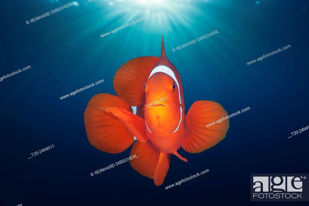 Stock Photo: Spinecheek Clownfish, Premnas aculeatus, Florida Islands, Solomon Islands.