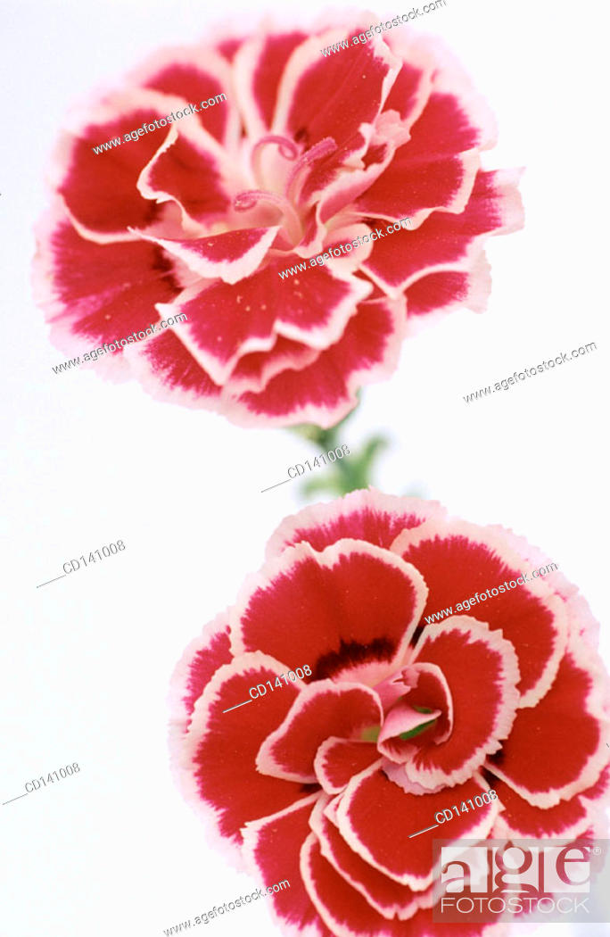 Stock Photo: Pink Carnations (Dianthus sp.).