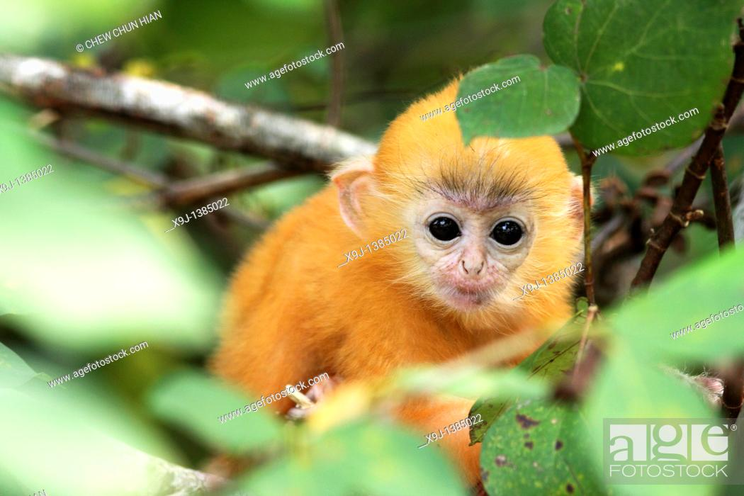 Stock Photo: Golden color Baby of Silver Leaf Langur at Bako National Park, Sarawak, Malaysia.