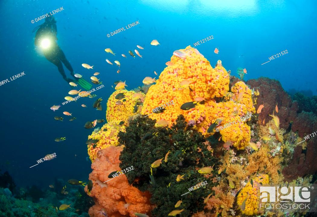 Stock Photo: Woman diving on coral reef, Raja Ampat, Indonesia.