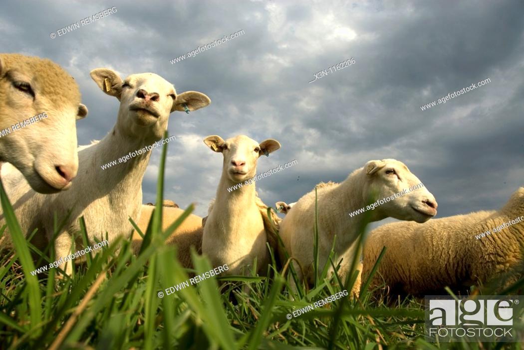 Stock Photo: Sheep grazing in pasture.