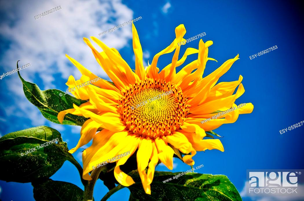 Stock Photo: sunflower on blue sky background in summer day.