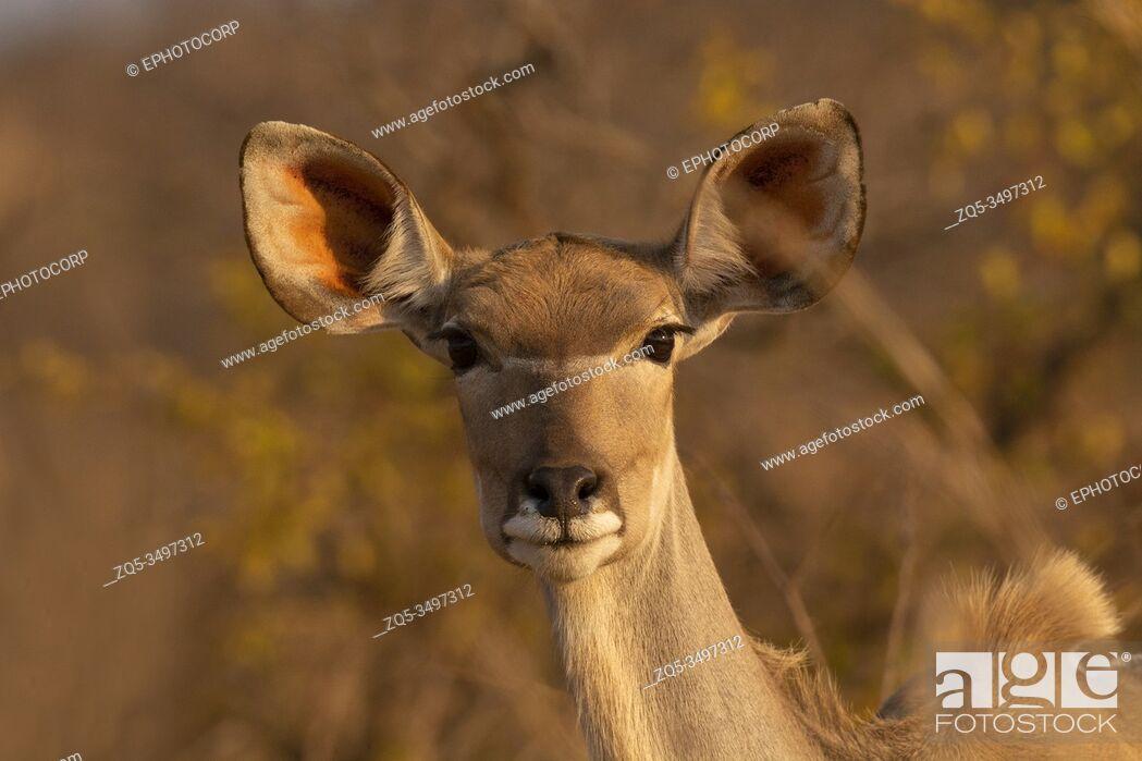Photo de stock: Kudu or Greater Kudu Female, Tragelaphus strepsiceros, Kruger National Park, South Africa.