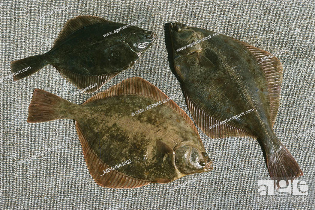 Flounders Platychtys Flesus Three Animals Fish Bone Fish Flat