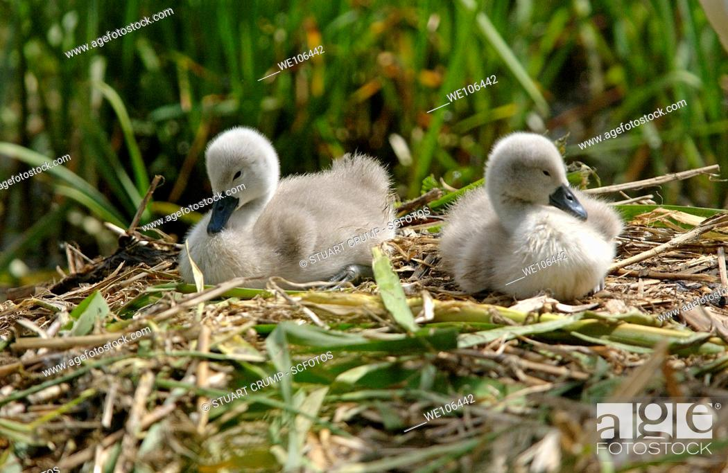Stock Photo: Pair of Mute Swan Cygnets at Swithland Reservoir in Leicestershire,England, UK.