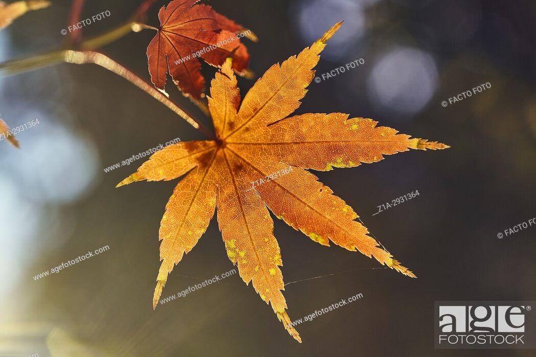 Imagen: Acer Palmatum in autumn at The Royal Botanical Garden. Madrid. Community of Madrid. Spain.