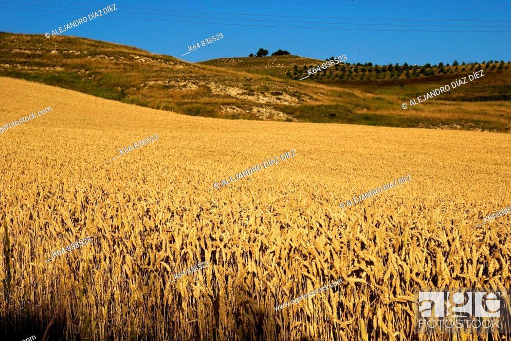 Stock Photo: Wheat field.
