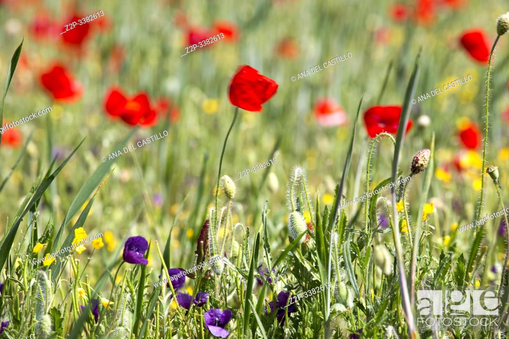 Stock Photo: Spring meadow with poppies Teruel Aragon Spain.