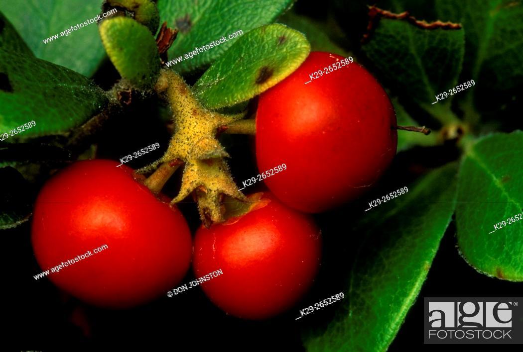 Stock Photo: Bearberry, (Arctostaphylos uva ursi), Manitoulin Island, Ontario, Canada.