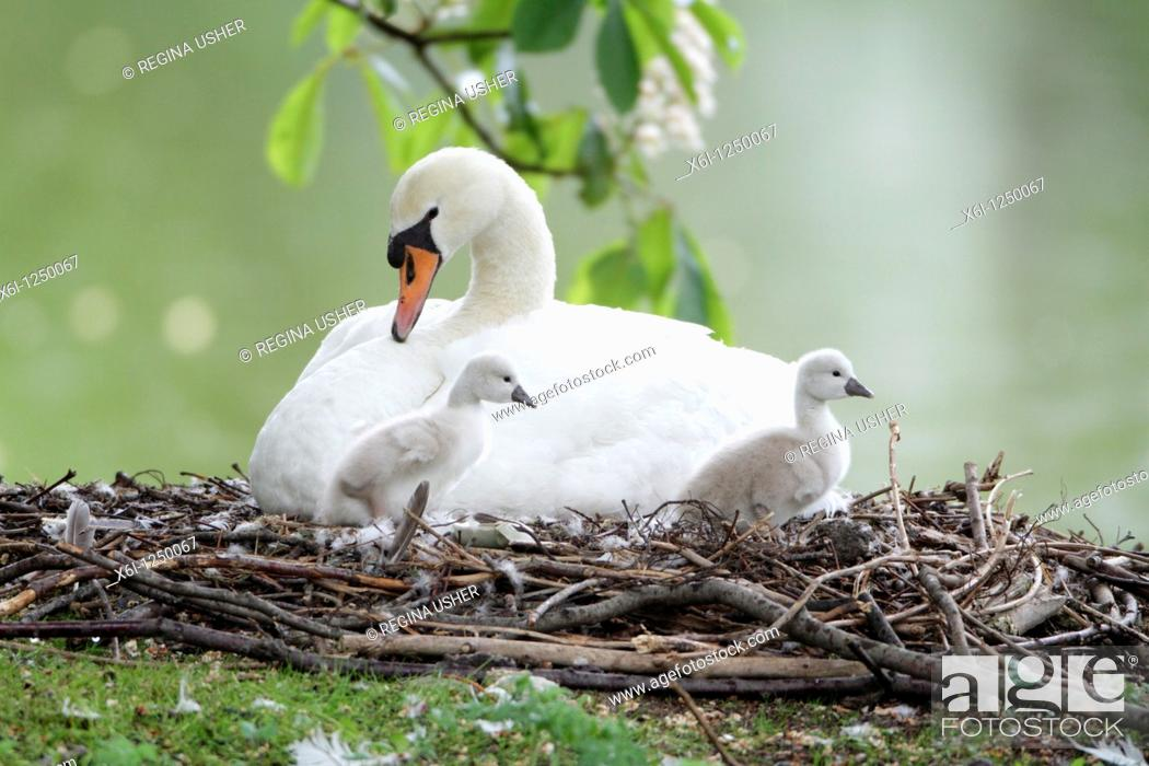 Stock Photo: Mute Swan Cygnus olor, parent bird at nest with two cygnets, Germany.
