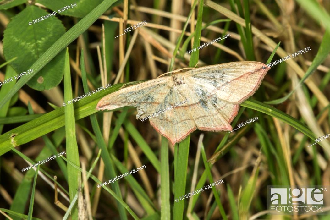 Stock Photo: A blood vein moth is sitting on a leaf.