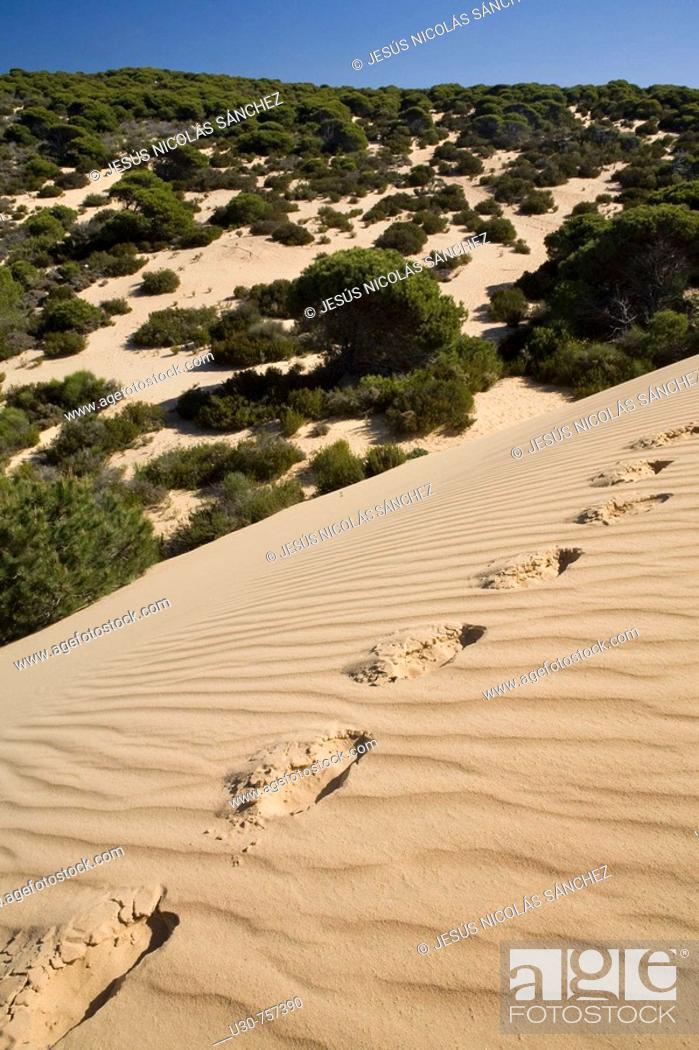 Stock Photo: Footprints on the sands of Dune del Asperillo, in the Natural Park of Doñana, Doñana, Huelva, Andalucia, Spain, Europe.