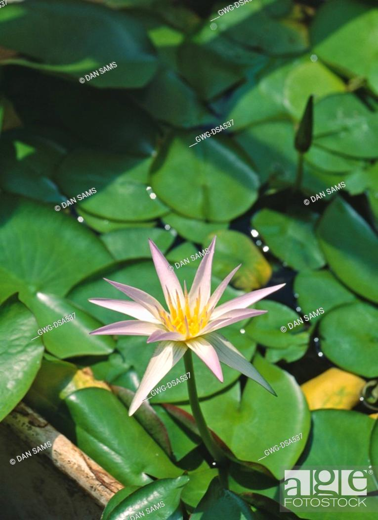Nymphaea Stellata Lotus Flower Shapla National Symbol Of Sri Lanka