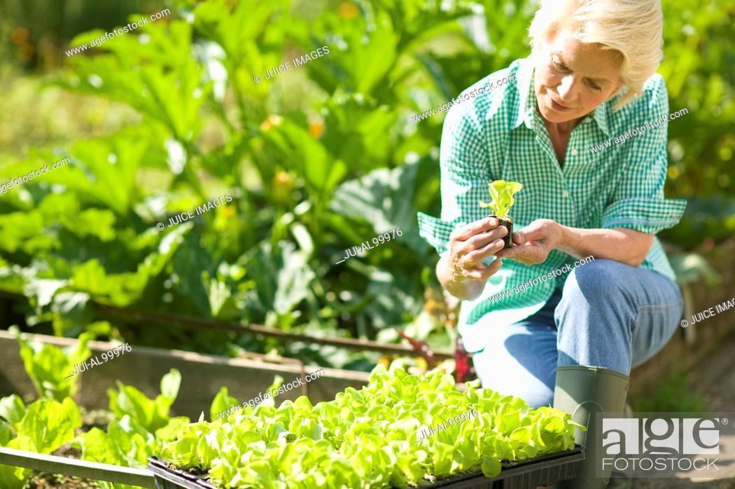 Stock Photo: Senior woman planting lettuce.