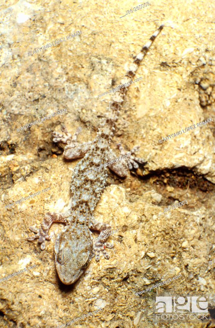 Stock Photo: Gecko (Tarentola mauritanica).