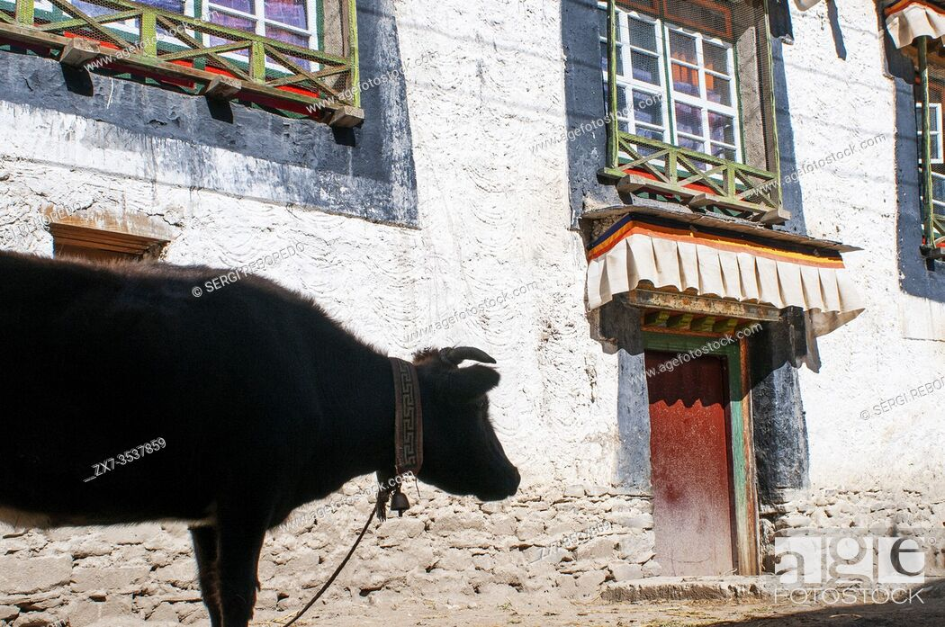 Imagen: Cow in the streets of Gyantse village or Gyangze town, Tibet, China. Located in the northeast of Gyantse at 3900 meters above sea level.