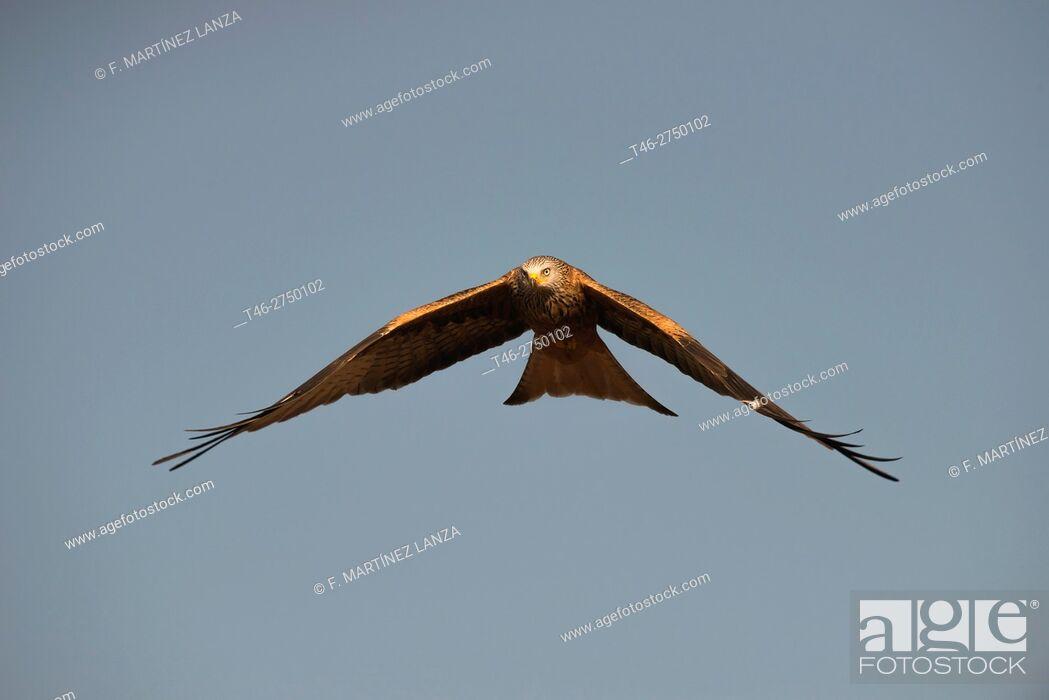 Stock Photo: Red kite (Milvus milvus). Sierra de Guadarrama, Madrid province, Spain.