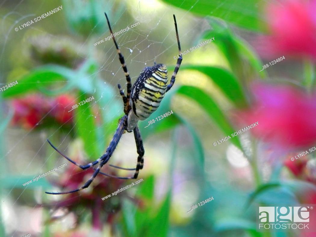 Stock Photo: Black and yellow garden spider, Argiope aurantia in flower garden.