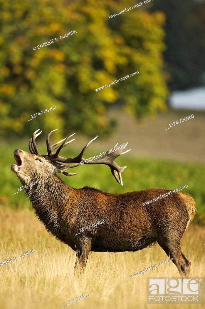 Stock Photo: European Red Deer (Cervus elaphus). Autumn, England.
