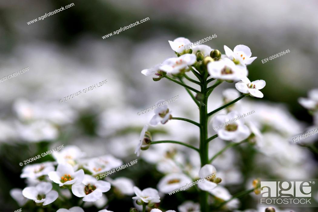 Photo de stock: alyssum.