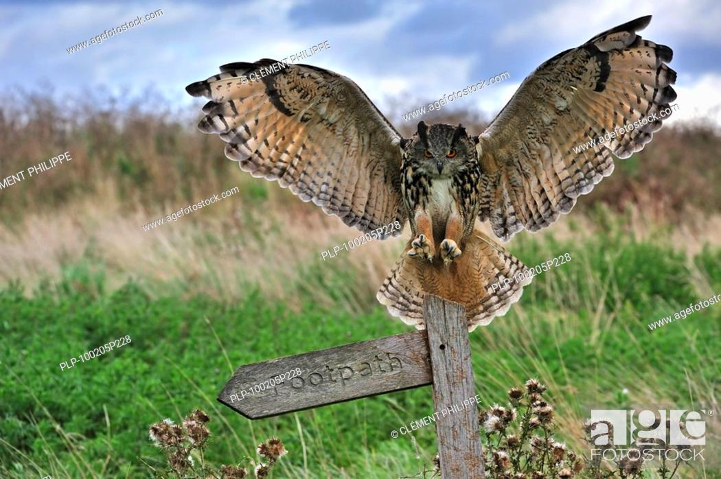 Stock Photo: Eagle owl Bubo bubo landing with wings spread on perch in meadow, England, UK.