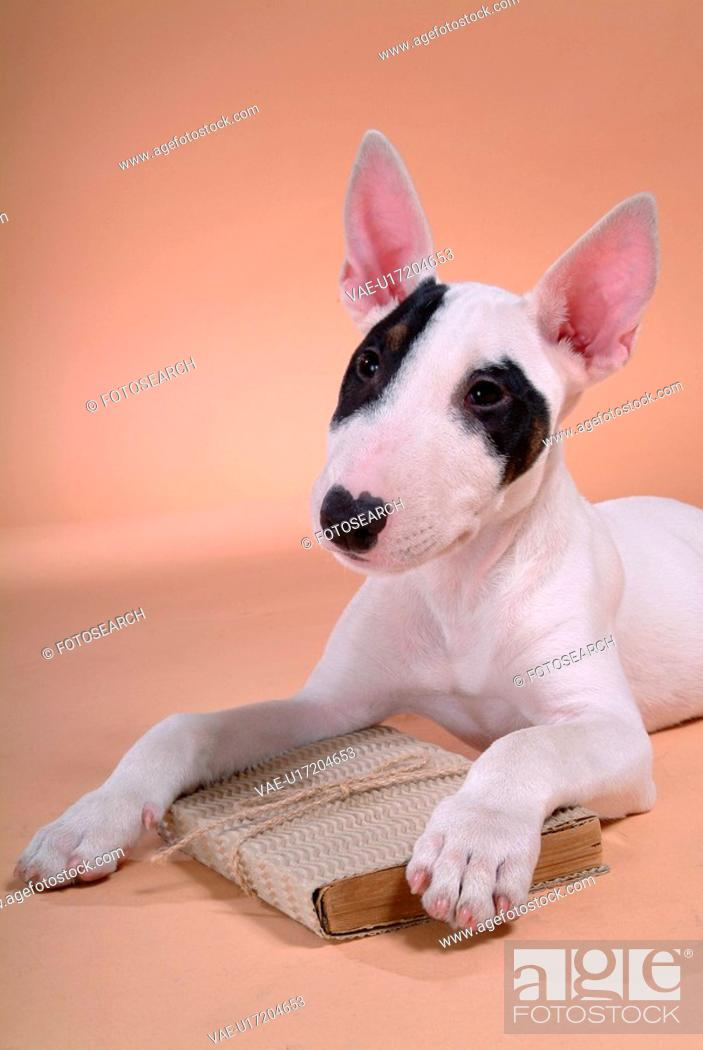 Stock Photo: canine, dog, close up, domestic animal, pet, companion, bullterrier.