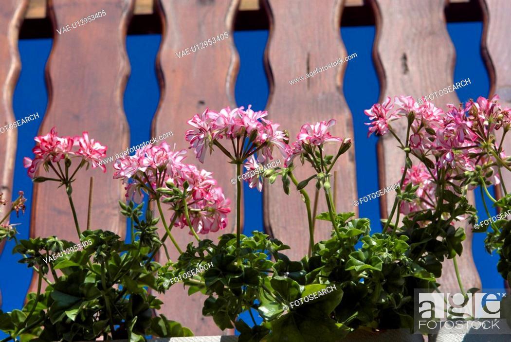 Stock Photo: outdoors, flora, belvedere, balcony, balcony plant, flowers, geranium.