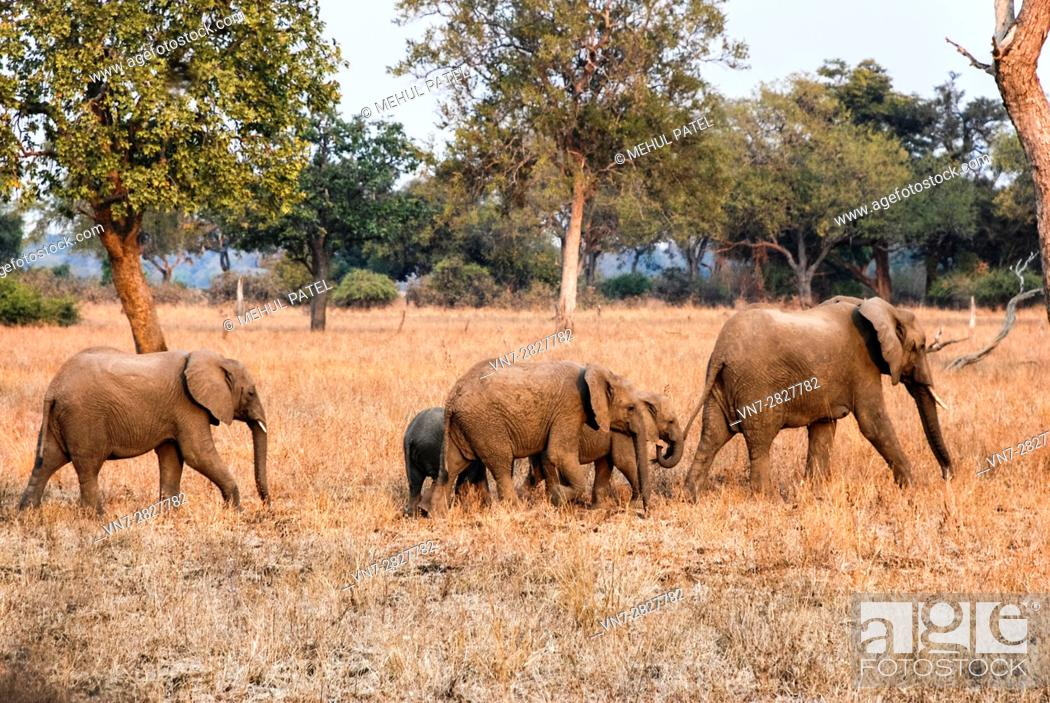 Stock Photo: Baby elephants following elder elephant in Zambia, Africa.