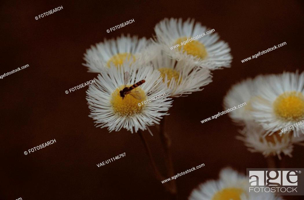 Stock Photo: Insect On Daisy.