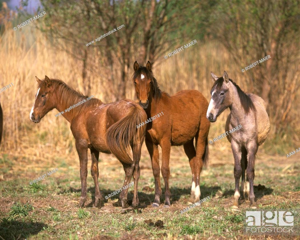 Stock Photo: Young-Portuguese-Horses.