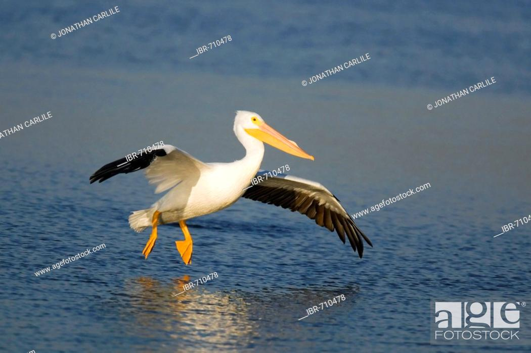 Stock Photo: American White Pelican (Pelecanus erythrorhynchos), Sanibel Island, Florida, USA.