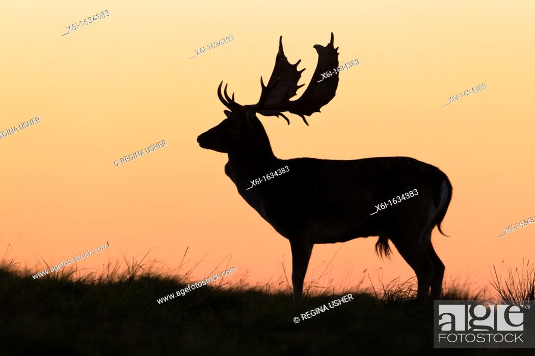 Stock Photo: Fallow Deer Dama dama, Buck standing on Horizon at Dusk, during the Rut, Royal Deer Park, Klampenborg, Copenhagen, Sjaelland, Denmark.