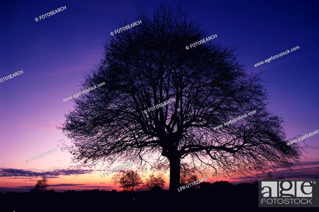 Stock Photo: Big Tree, Silhouette, Front View, Pan Focus.