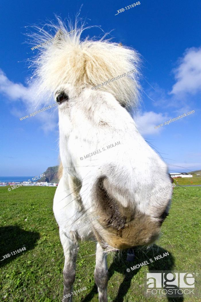 Stock Photo: Icelandic horses on Heimaey Island, Iceland MORE INFO Although the horses are small, at times pony-sized, most registries for the Icelandic refer to it as a.
