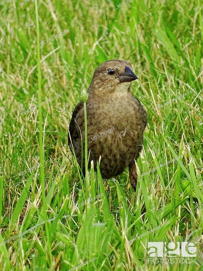 Stock Photo: A juvenile brown-headed cowbird, molothrus ater, in the grass, Pennsylvania, USA.