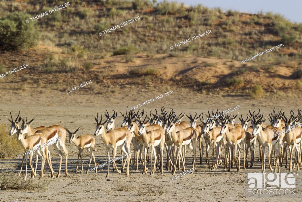 Stock Photo: Springbok (Antidorcas marsupialis). Roaming herd in the dry Nossob riverbed. Kalahari Desert, Kgalagadi Transfrontier Park, South Africa.