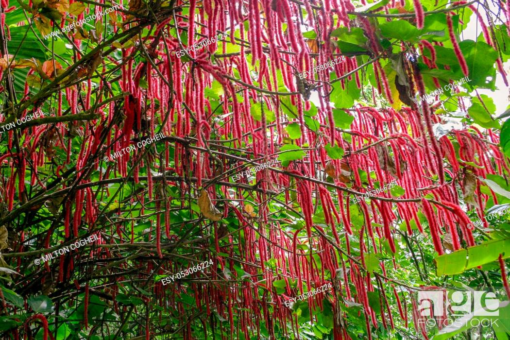 Stock Photo: Flowering Chenile plant (Acalypha hispida) in the Diamon Botanical Gardens, St Lucia.